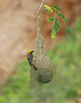 Tir vertical de baya weaver sur son nid à l'extérieur pendant la lumière du jour