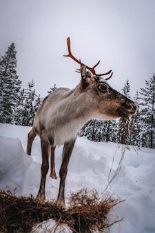 Tir vertical d'un cerf dans la forêt enneigée en hiver