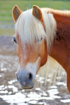 Tir vertical d'un cheval brun