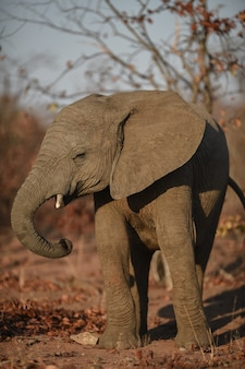 Tir vertical d'un éléphant d'afrique