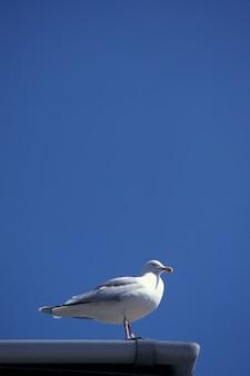 Tir vertical d'un goéland qui rit sur un toit avec un ciel bleu clair dans le devon, uk