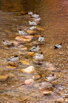 Tir vertical d'un grand nombre de canards colverts près du lac pendant la journée