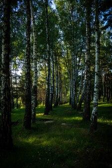 Tir vertical des grands arbres dans la forêt par une journée ensoleillée en été