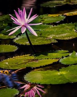 Tir vertical d'un lotus rose dans un étang