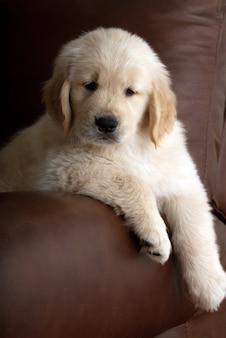Tir vertical d'un mignon chiot golden retriever reposant sur le canapé