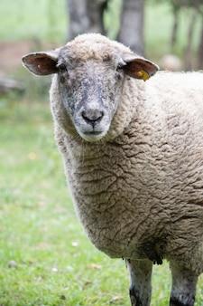 Tir vertical d'un mouton dans la nature