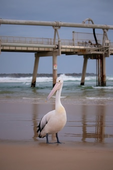 Tir vertical d'un pélican blanc sur la plage avec la jetée