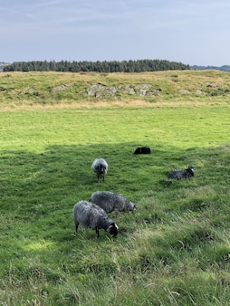 Tir vertical de plusieurs moutons paissant sur le champ vert