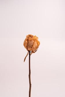 Tir vertical d'une rose blanche sèche sans feuilles isolées sur un fond de couleur claire