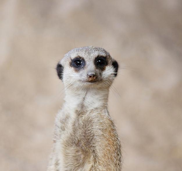 Tir vertical d'un suricate à la recherche mignon