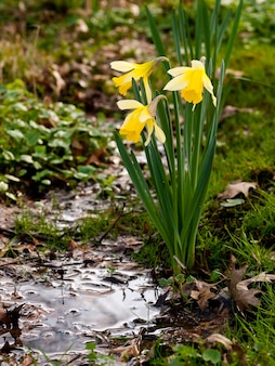 Tir vertical de trois tulipes jaunes dans la nature