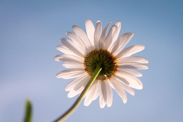 Tiré d'une camomille sur fond de ciel bleu. fleur de marguerite sur prairie ensoleillée, gros plan, espace de copie.