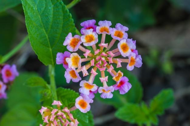 Tissu d'or ou lantana camara fleur dans le jardin