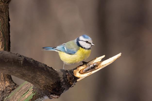 Tit sur une branche