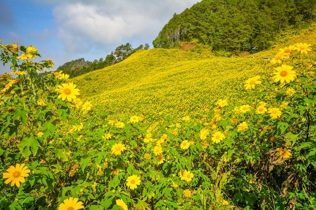 Tithonia diversifolia, tournesol mexicain, champ de fleurs jaunes à mae hong son, dans le nord de la thaïlande.