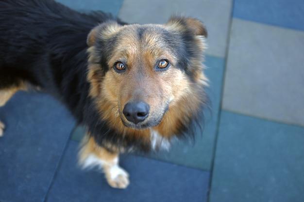 Titre: visage et yeux de chien se bouchent sur fond bleu. mise au point sélective et flou.
