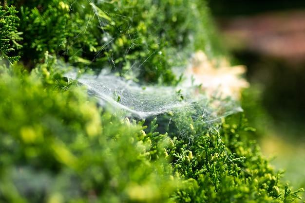 Toile d'araignée sur un buisson vert
