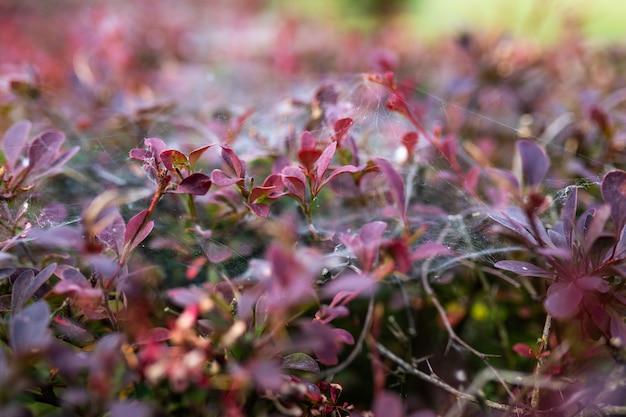 Toile d'araignée sur les buissons dans le parc