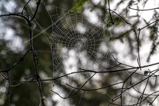 Toile d'araignée avec fond défocalisé de forêt sauvage