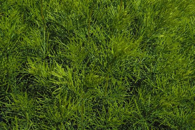 La toile de fond naturelle des plantes vertes. plantes ornementales pour l'aménagement paysager de jardins et de parcs.