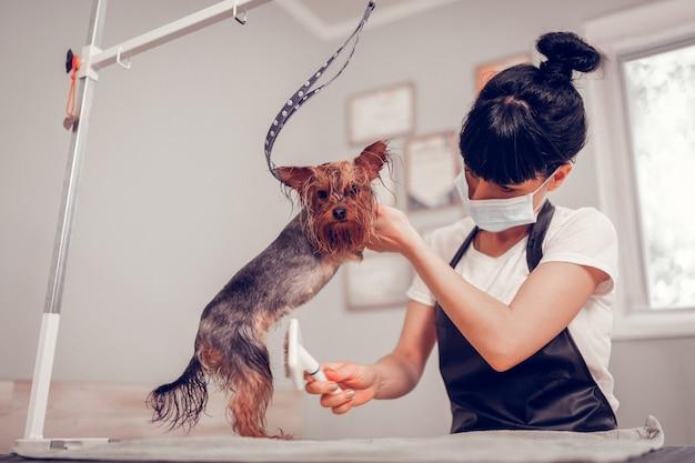Toilettage petit chien. femme brune avec un chignon toilettant un petit chien mignon dans un salon de toilettage