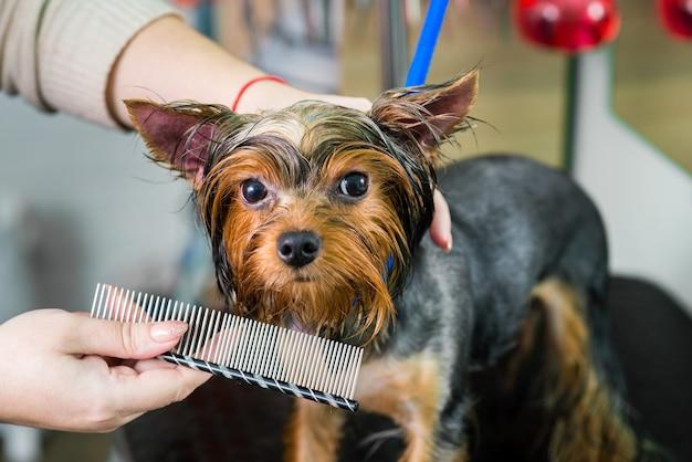 Toiletteur peignant le chien après le bain dans le salon de toilettage
