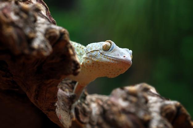 Tokay gecko albinos gros plan face gros plan animal