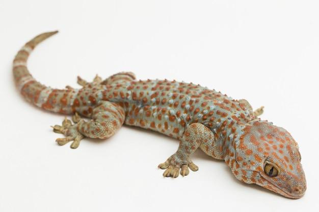 Tokay gecko gekko gecko isolé sur fond blanc