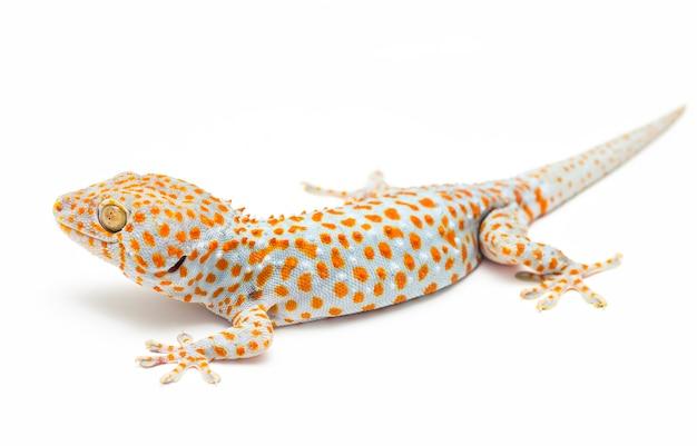 Tokay gecko thaïlande sur fond blanc