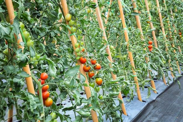 Tomate plantée dans le champ.