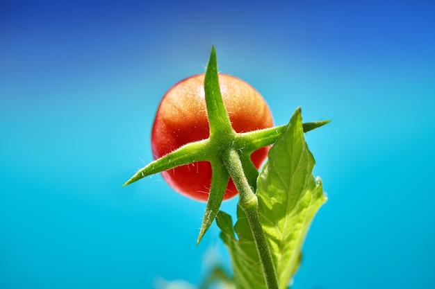 Tomate rouge dans le verger