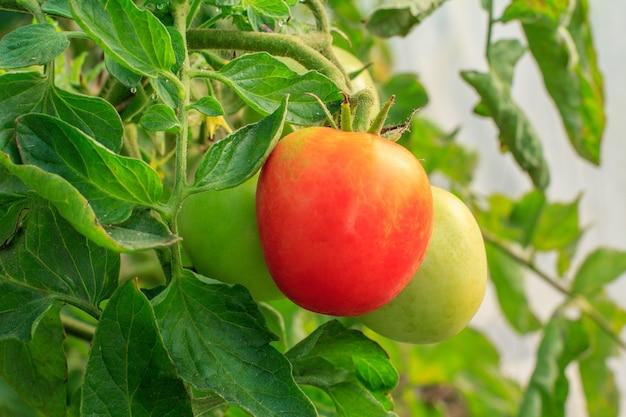 Tomate rouge mûre poussant sur le lit de jardin. tomates en serre avec des fruits. tomate rouge sur une branche.