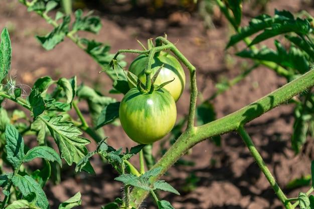 Tomate verte sur une branche de buisson