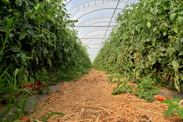 Tomates dans une serre. horticulture. des légumes. agriculture.