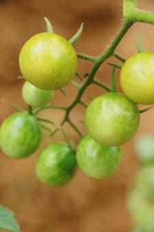 Tomates fraîches sur l'arbre dans le jardin
