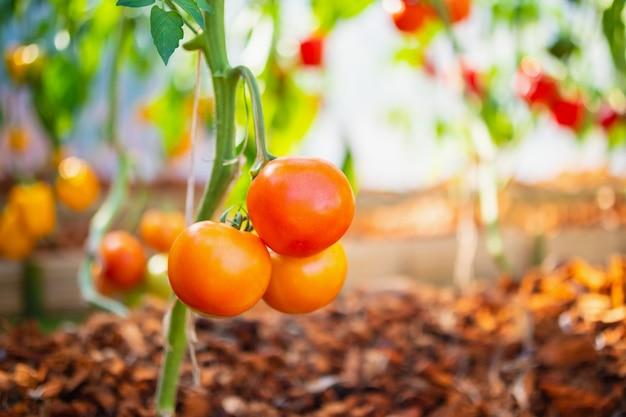 Tomates mûres rouges fraîches accrochées à la vigne poussant dans un jardin biologique