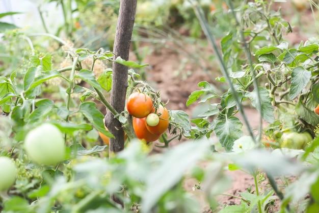 Tomates poussant dans la serre.