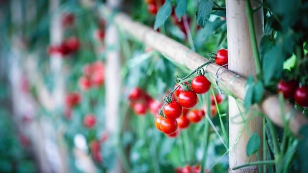 Tomates rouges mûres dans les serres