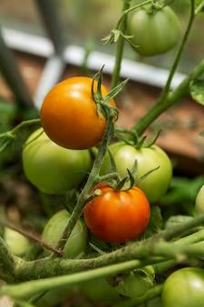 Tomates rougissantes sur les branches dans une serre. nouvelle récolte. vitamines et alimentation saine. fermer. verticale.