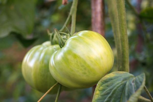 Tomates sur le terrain