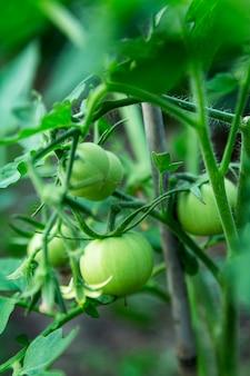 Tomates vertes sur les branches. nouvelle récolte. vitamines et alimentation saine. fermer. verticale.
