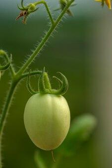 Tomates vertes fraîches sur les plantes à la ferme.