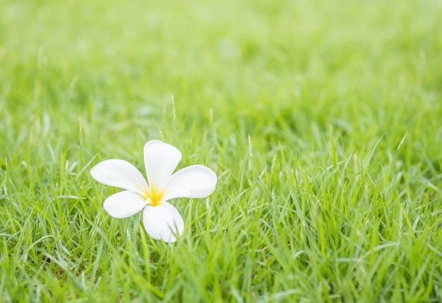 Tombé belle fleur blanche sur fond texturé sol herbe verte