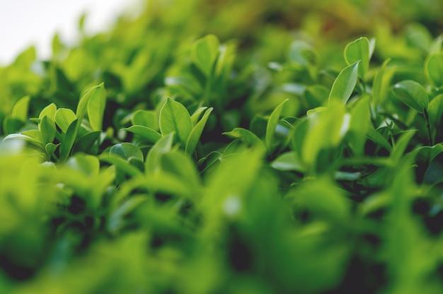 Top feuilles de thé vert de feuilles de thé molles
