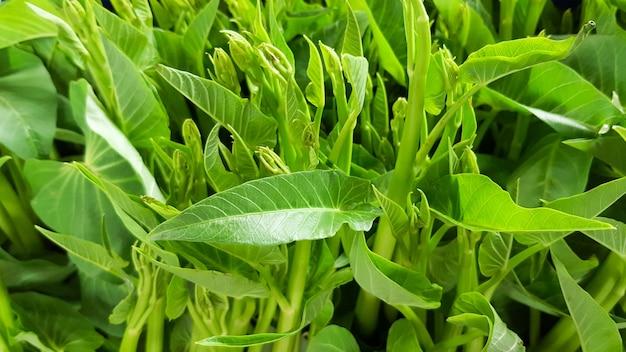 Top greens morning glory, gros plan, légumes
