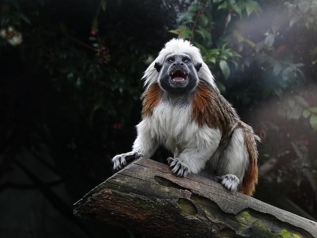 Top saguinus primate tamarin coton œdipe singe