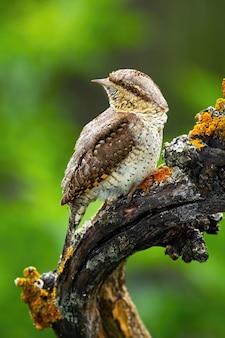 Torcol eurasien assis sur une branche dans la nature estivale