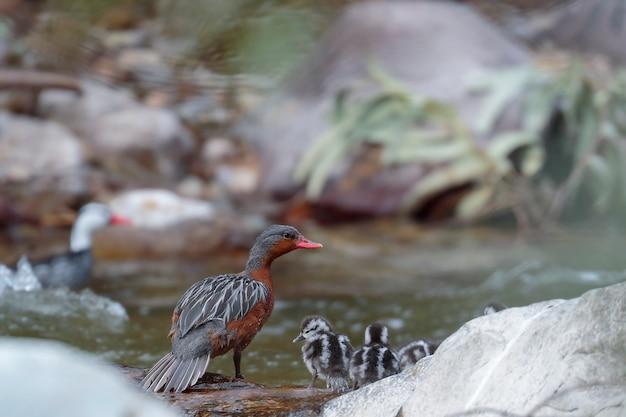 Torrent duck (merganetta armata) beau spécimen d'une femelle avec sa petite progéniture