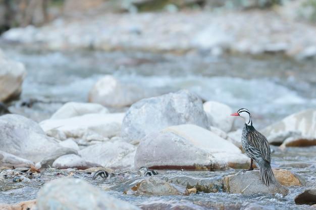 Torrent duck (merganetta armata) beau spécimen mâle de canard torrent avec ses jeunes