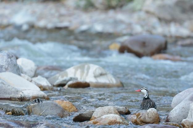 Torrent duck (merganetta armata) beau spécimen mâle de canard torrent